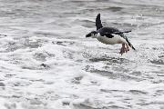 Pingviner kan ikke flyve. Denne rempingvin ved det bare ikke