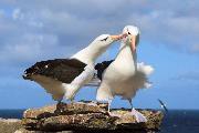 Noget i øjet - Frieri af sortbrynet albatros