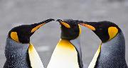 3 kongepingviner til direktørmøde