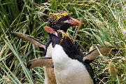 Guldlokket pingvin par i paringsleg