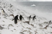Snestorm hos pingvinerne på sydpolen