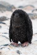 Den afskyelige snemand - Adeliepingvinunge
