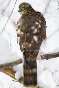 Sparrowhawk sitting in a tree.