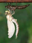 Nyfødt guldsmed folder sig ud (Blå mosaikguldsmed)