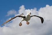 Sortbrynet albatros kigger på fotografen