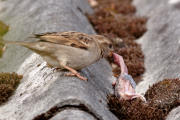 Rovspurv spiser fugleunge