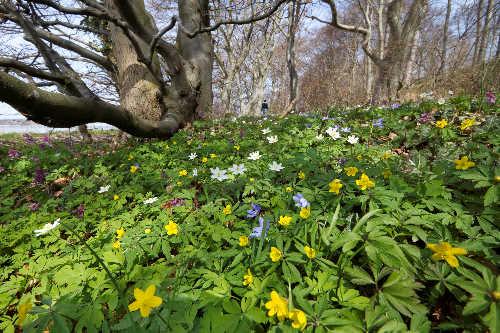 Blomstrende blå gule og hvide anemoner i skovbunden
