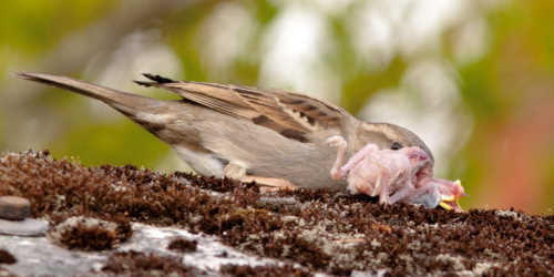 Gråspurv spiser fugleunge