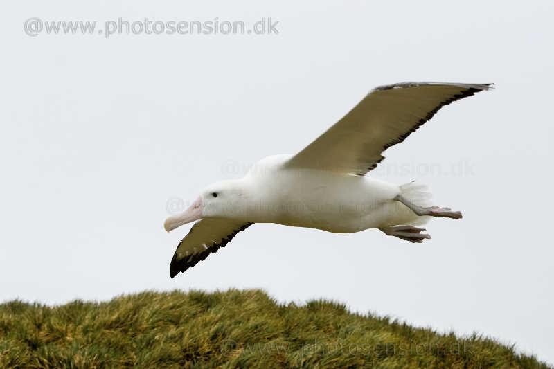 Vandrealbatros flyver lavt over Albatross Island