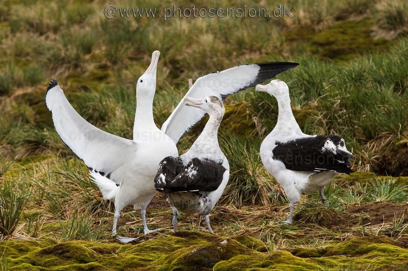 Vandrealbatros danser for 2 ungfugle på Sydgeorgien