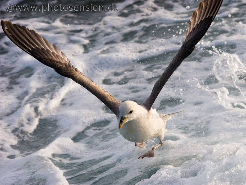 Walking on water. Northern Fulmar
