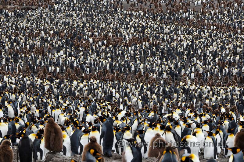 Pingviner i massevis. Kæmpestor kongepingvin koloni.