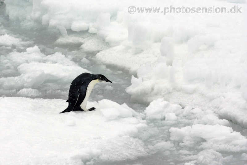 Ung kejserpingvin på havisen ved Antarktis