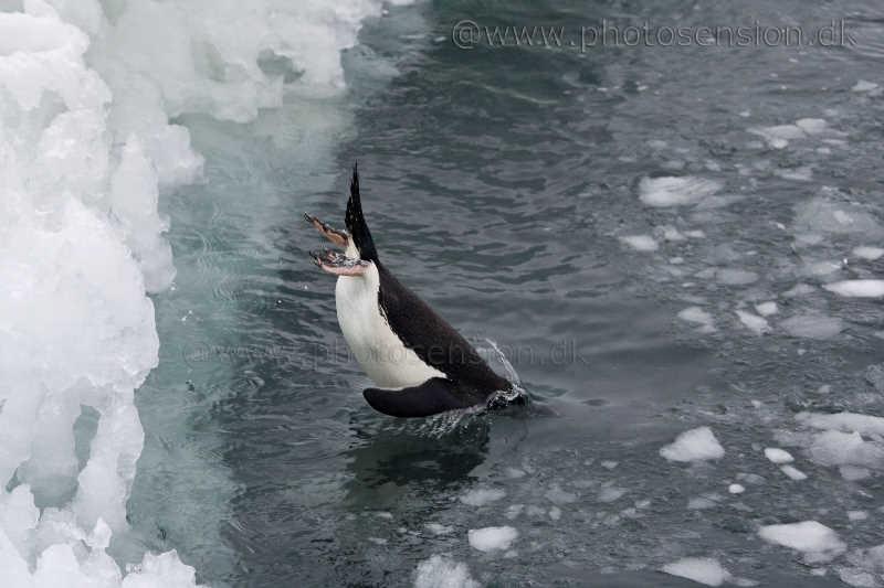 Adeliepingvin springer på hovedet ned i isfyldt farvand.