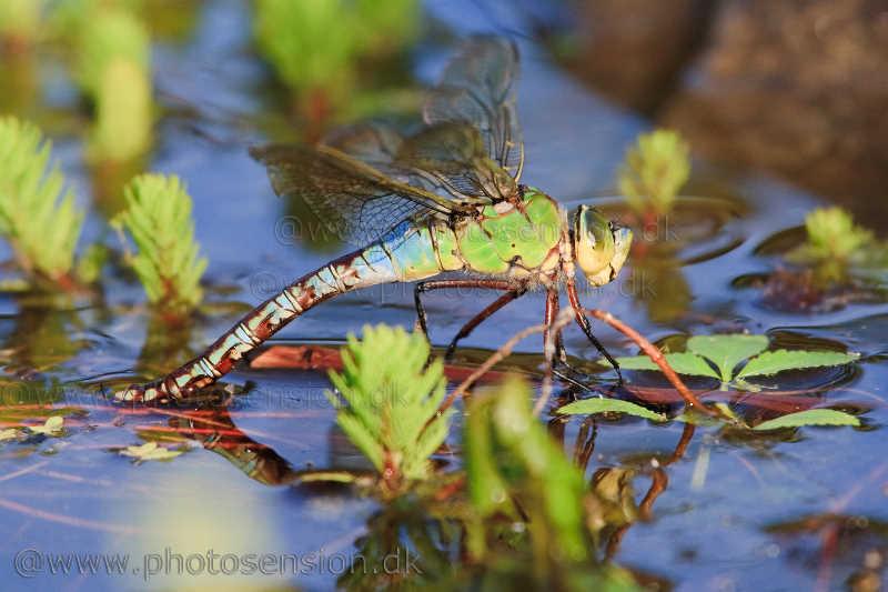 Kejserguldsmed lægger æg mellem vandplanter