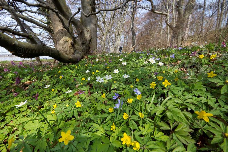 Blå, gule og hvide anemoner i skovbunden