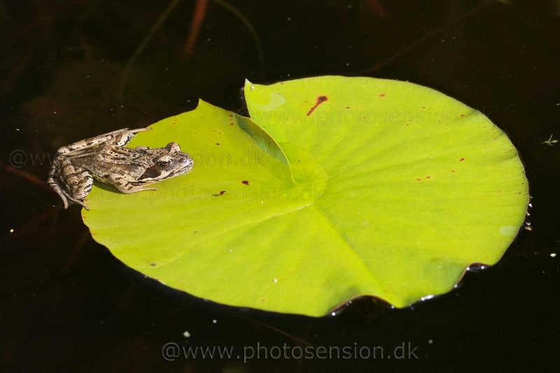 Butsnudet brun frø (Rana temporaria) på åkande blad