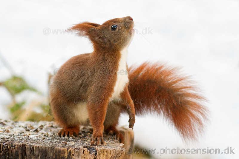 Egern på træstub