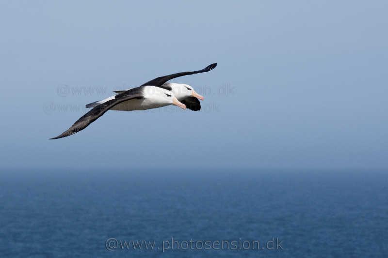 To albatrosser flyver tandem