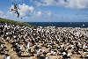 Sortbrynet albatros koloni på Steeple Jason, Falklandsøerne.