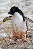 Den global opvarmning er dårligt nyt for adeliepingvinerne.