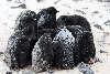 Frysende pingvinunger (Adeliepingviner)
