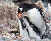 Pingvin unger tigger mad