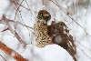 Spurvehøg på gren i snevejr