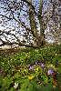 Gule, hvide og blå anemoner i blomst samtidigt